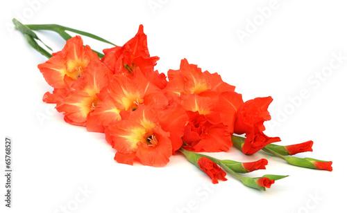 Foto op Canvas Iris Gladiolus