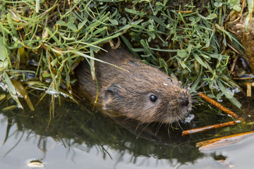 Juvenile Water Vole, Swimming Out Of A Borrow Hole