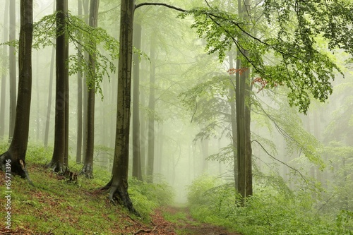 Fotobehang Bos in mist Spring deciduous forest with outgoing fog in the distance