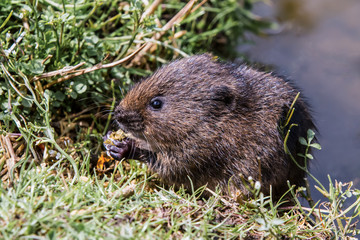 Juvenile Water Vole, Eating By Waters Edge