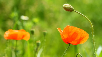 Wild Red Poppy Flowers on the green grass