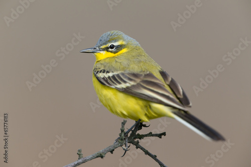 canvas print picture Schafstelze, Western Yellow Wagtail, Motacilla flava