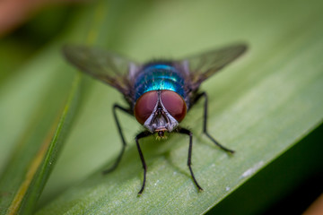 Calliphora vomitoria bluebottle fly