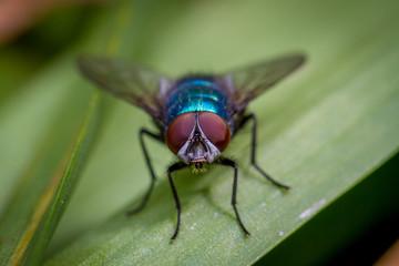 Calliphora vomitoria bluebottle fly