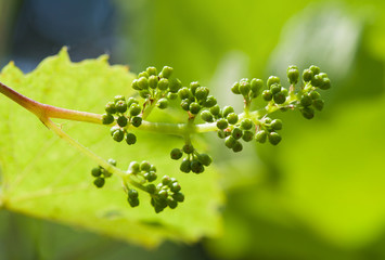 Young grape clusters