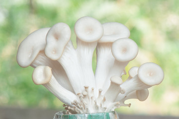 Oyster mushroom background