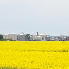 Grain silos canola rapeseed agriculture field