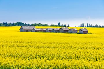 Farm huts canola field agriculture landscape