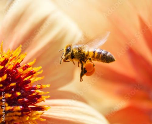 Honeybee - 65782170