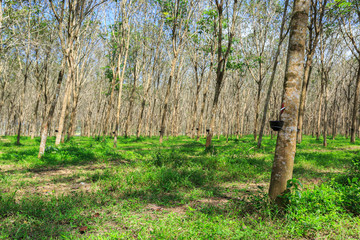 Rubber Tree Plantation With Rows Of Trees