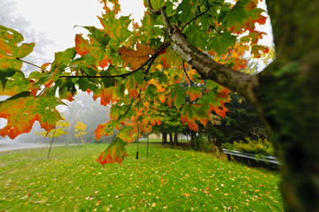 Fall maple tree in foggy park