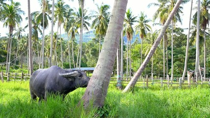 Bull Is Grazing between Palms in Thailand.