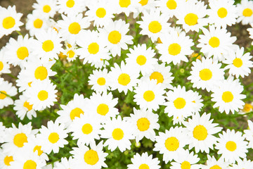 flowers of the daisy