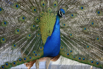 Beautiful proud peacock