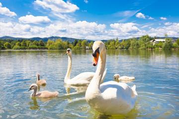 Swans with nestlings in Ljubljana.
