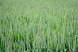 Junger Weizen, q.