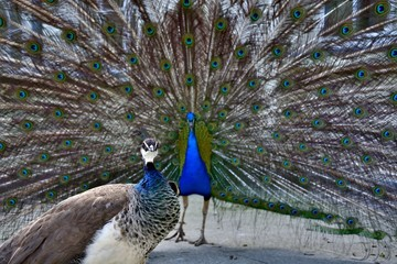 Beautiful proud peacock