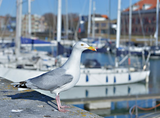 Seagull in marina on front of leisure boats