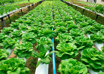 green lettuce, cultivation hydroponics green vegetable