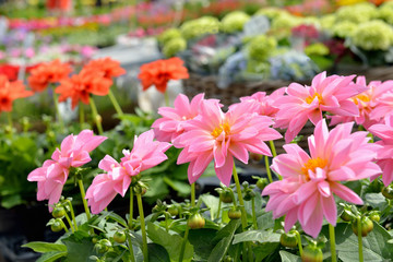 Pink dahlias on flower market in sunny day