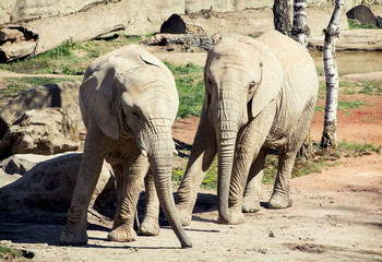 Pair of African bush elephants