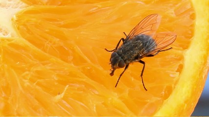 Fly tastes fresh orange