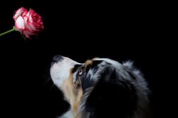 Australian Shepherd mit Rose