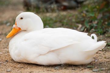 Duck resting in grass