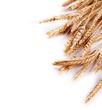 Wheat - 65800966