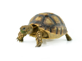african spurred sulcata of white background