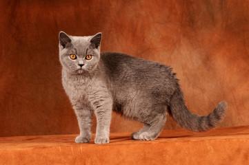 Britisch Kurzhaar Katze stehend auf braun