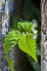 Nettle Between Wooden Pales
