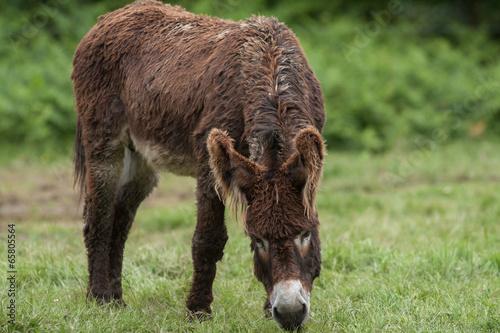 Tuinposter Ezel Ane du Poitou - Equus asinus - en train de brouter