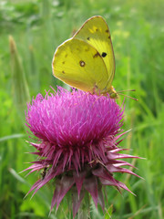 Colias alfacariensis butterfly pollinates Carduus nutans flower