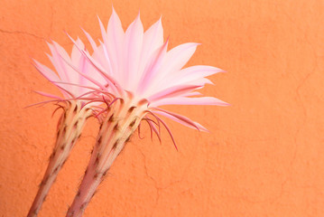 Succulent's flowers