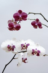 red and white orchid isolated