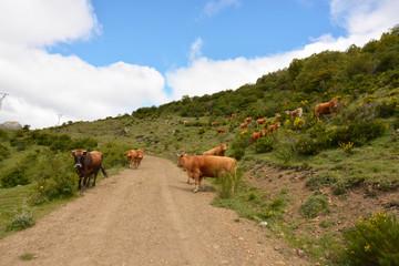 grupo de vacas cruzando un camino en la montaña