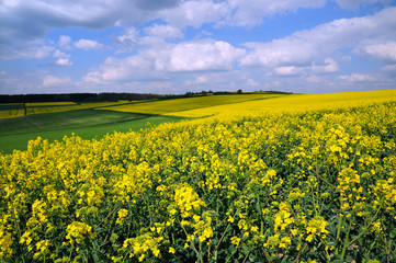 Canola field in Germany