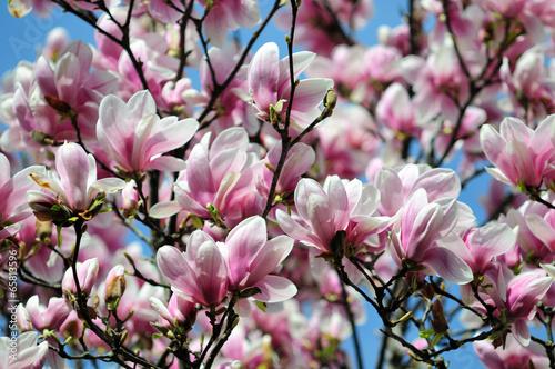Plexiglas Magnolia Magnolia tree blossom