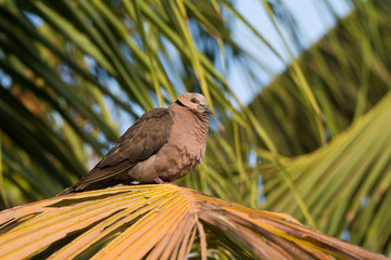A Red-eyed Dove (Streptopelia semitorquata) perched on palm