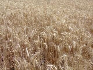 buğday hasat zamanı