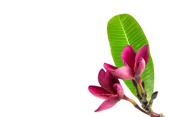 Red Frangipani flower with leaf isolated on white background