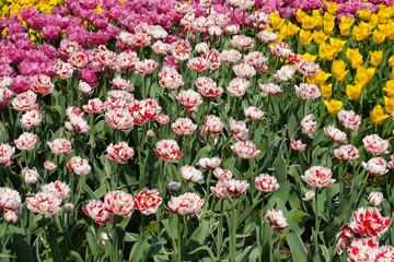 Buntes Tulpenbeet
