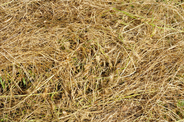 Yellow clippings grass