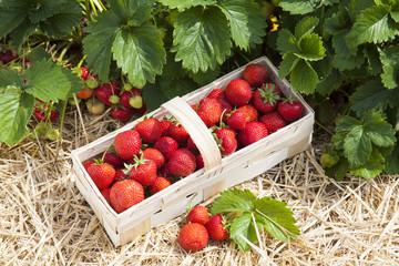 Erdbeerfeld mit reifen Früchten