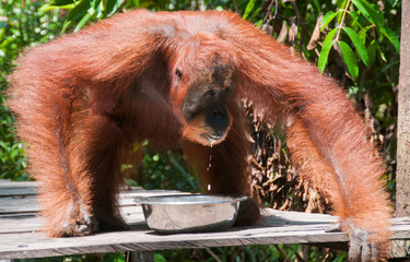 Female orangutan drinking milk