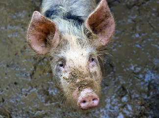 piggy in the mud