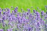 Fototapety Echter Lavendel