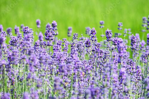 echter lavendel by digitalpress royalty free stock photos. Black Bedroom Furniture Sets. Home Design Ideas