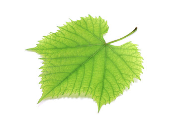 green grape leaf on white background